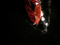Whirligig Beetle (louisefeetham) Tags: pond beetle microscope whirligig