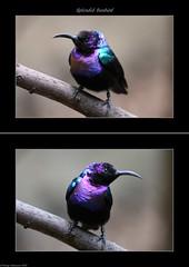 Splendid Sunbird (tommyajohansson) Tags: bird london geotagged diptych tiergarten regentspark londonzoo sunbird faved fgel djurpark zsl splendidsunbird tommyajohansson blackburnpavilion