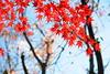 Not fade away still (tsuntsun3) Tags: red japan tokyo leaf img6515 qualitygold