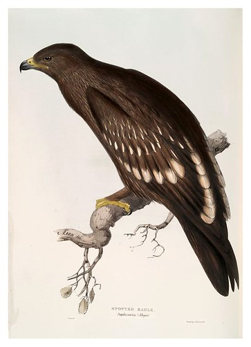 002-Aguila manchada- The birds of Europe Tomo I-1837- John Gould