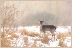 Bambi in snow (Joost N.) Tags: sunset sun snow cold holland nature grass animal dead nikon shot dunes nederland deer 300mm killed bambi curious joost duinen zandvoort dood hert amsterdamse schieten herten vogelenzang amsterdamsewaterleidingduinen waterleiding notten 100commentgroup