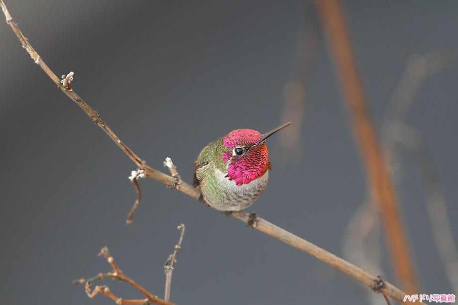Anna's Hummingbird 122510-3