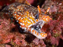 [フリー画像] 動物, 魚類, ウツボ, 201101021700