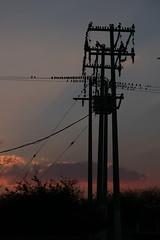 crow-ded.... birds, LOTS of creepy birds (outoftuneguitar) Tags: sunset birds mexico atardecer pajaros parvada crowded