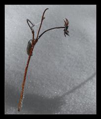 980 In the Snow (Nebojsa Mladjenovic) Tags: winter light snow france cold macro art nature monochrome digital french outdoors lumix frankreich burgundy hiver panasonic frankrijk closup bourgogne francia zima priroda morvan francais fz50 yonne selectivecoloring svetlost mladjenovic mygearandmepremium