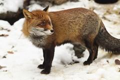 [フリー画像] 動物, 哺乳類, イヌ科, 狐・キツネ, 201101041700