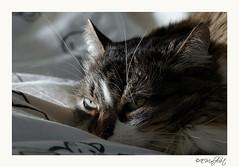 "Poes (emalfliet) Tags: cat poes ""nikonflickraward"""