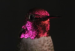 Male Anna's Hummingbird 8 (William Jensen Photography) Tags: california bird hummingbird avian californianative annashummingbird calypteanna canon300mmf4lis montereycountycalifornia canon40d