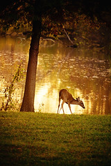 dawn (slight clutter) Tags: morning tree nature animal sunrise gold dawn texas wildlife houston deer bayou gulfcoast