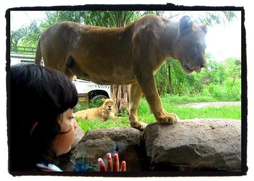 look, papa.. lion!
