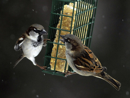 Suet Snow Sparrow Face-off