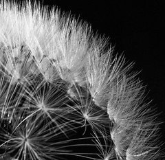 weeds (Flashback.Photography) Tags: blackandwhite bw white black macro 50mm weeds weed flash seed olympus dandelion seeds adobe process processed zuiko 48 spore metz 520 dandelions af1 lightroom spore