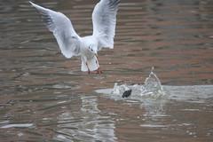 Duik en Landing (ellab3) Tags: winter water dutch nederland vogels natuur nederlands meeuw vogel nld kuifeend watervogels watervogel