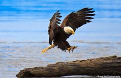 Perfect Landing (Feng Wei Photography) Tags: travel summer usa bird nature alaska eagle wildlife baldeagle homer nationalgeographic 100commentgroup bestcapturesaoi dblringexcellence tplringexcellence eltringexcellence