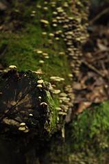 fungi, Sandankyo (whitney.barclay) Tags: tree green japan forest mushrooms japanese moss blurry log nikon hiking availablelight hiroshima trail ravine gorge d90 sandankyo nikond90