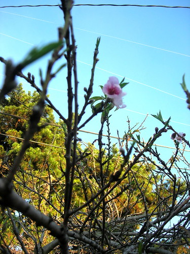 peach blossoms_sm