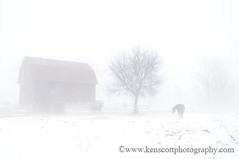 Winter Fog ... (Ken Scott) Tags: winter horses usa snow tree eye fog barn december michigan farm leelanau