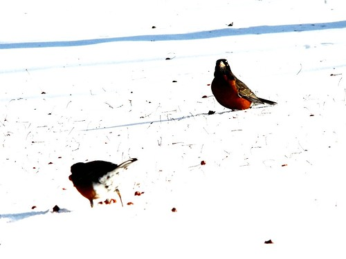 Wildob: robins