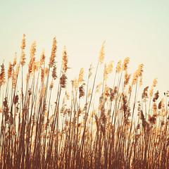 Carefree. (CarolynsHope) Tags: beach grass seaside peaceful shore grasses carefree easygoi