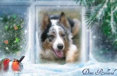 Vivement le Printemps ... (Domi Rolland ) Tags: chien france animal europe neige bordercollie oiseaux millau aveyron hivers midipyrénées