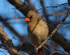 Female Northern Cardinal in the Crepe Myrtle Tree (fazer53) Tags: bird nature birds nikon d70 cardinal wildlife northcarolina carolina asheboro northerncardinal d70nikon randolphcounty archdale 70300mmvr glenola