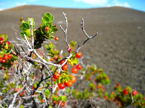 'ÅŒhelo berries