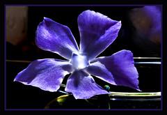 IMG_2380 unknown blue beauty (jaro-es) Tags: flowers espaa flower macro nature canon garden spain natur flor natura blume makro garten spanien wow1 abigfave spanelsko naturewatcher mimamorflowers auniverseofflowers eos450