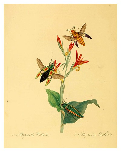 001Buprestis Vittata-Natural history of the insects of China…1842- Edward Donovan