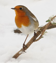 Robin sitting on his favourite bush,most of which is buried under the snow (earlyalan90 away awhile) Tags: ngc flickrdiamond platinumheartaward 100commentgroup blinkagain bestofblinkwinner