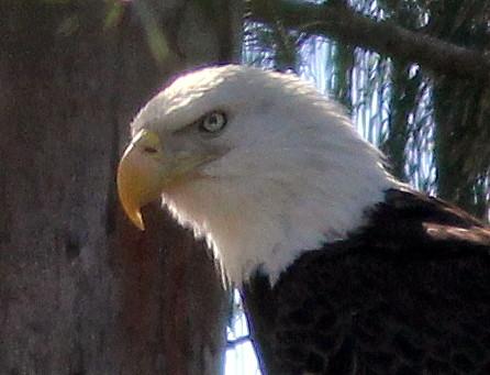 Eagle head 20110123