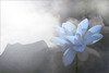Blue Lotus (Bahman Farzad) Tags: flower yoga peace relaxing peaceful meditation therapy bluelotus
