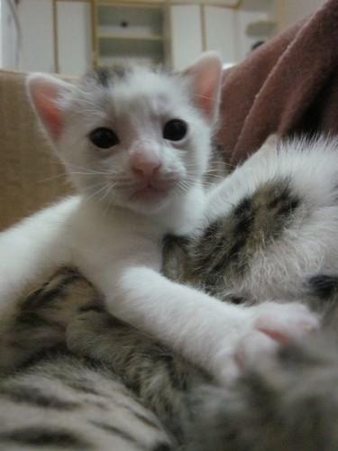 Yapraks kittens