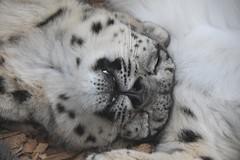 panthera uncia (Joachim S. Mller) Tags: schneeleopard irbis pantherauncia unciauncia panthera uncia snowleopard ounce groskatze katze cat sugetier mammal tier animal zoo zookarlsruhe karlsruhe badenwrttemberg deutschland germany
