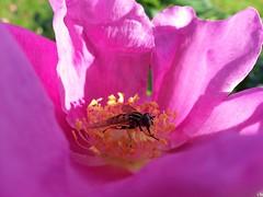 2016-09-22_10-44-38 (presteza777) Tags: flower pistil plant macro bright rose bee pink