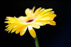 Gerbera (Udo R) Tags: pflanze gerbera blume bltenblatt wassertropfen schrfentiefe