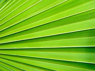 Cabbage Palm - Sabal palmetto