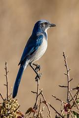 Scrub Jay (C7D1421) (matxutca (cindy)) Tags: nature bird scrubjay blue field branch coyotehillsregionalpark ebparksok