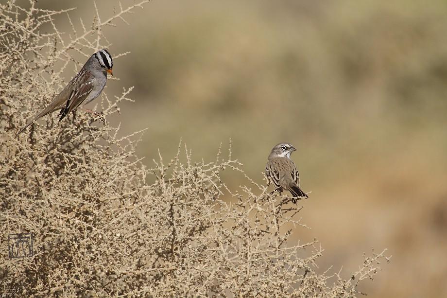 Sage Sparrow 11101-2