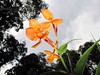 Aceh orchid (Mangiwau) Tags: orange lynch orchid flower forest sumatra banda flora rainforest mining jungle illegal bloom endangered bunga redd aceh liar ulu anak merrill yusuf masen perak peti tambang beuatiful penambangan geumpang pertambangan irwandi angrrek