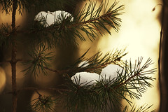 (koinis) Tags: winter light snow canon john bokeh fir l spruce 70200 firtree f4l koinberg koinis