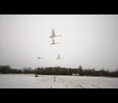 Zwanen (a.stokman) Tags: swan zwaan zwanen hoornseplas arjostokman
