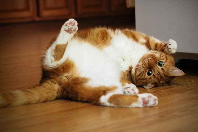 cute rescued ginger cat Francis rolling on his back
