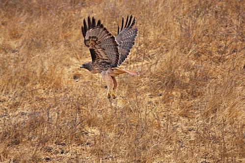 redtail dave harper oakley