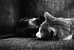 The Cats (Kate Tettmar) Tags: leica blackandwhite cat jasmine rangefinder 35mmfilm analogue rupert leicam3 rolleiir400 ilfoteclc29 homeprocessed leicaelmar90mmf4