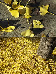 City of Trees (David Flatter) Tags: ca city shadow urban usa david tree fall nature water leaves yellow photography 50mm photo drops nikon diptych image picture experiment sidewalk pile covered photoaday trunk sacramento 365 20 nikkor dailyphoto challenge f20 project365 365days flatter d700 davidflatter davidflattercom wwwdavidflattercom httpwwwdavidflattercom flickrcomdavidflatter