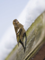 Female Chaffinch (Fringilla coelebs) on Snow Covered Shed Roof (cropped version) (Steve Greaves) Tags: winter snow cold bird nature female branch dof bokeh wildlife freezing aves naturalhistory snowing avian fringillacoelebs chaffinch mountainash rowantree commonchaffinch eurasianchaffinch nikond300 globalbirdtrekkers nikonafsii400mmf28ifedlens