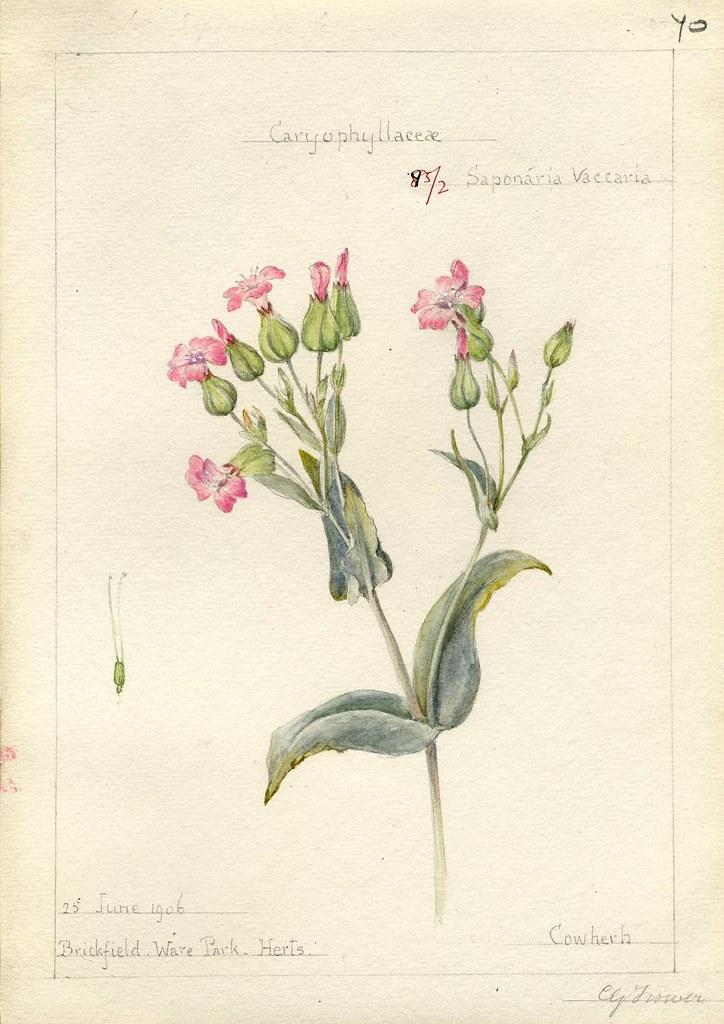 Saponaria vaccaria, Herts. 1906
