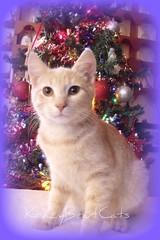 Christmas Boy (KrazyBoutCats) Tags: christmas cats pets animals holidays kittens felines christmaskittens kissablekats bestofcats catmoments