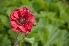 Geum 'Flames of Passion' (Melissa-Gale) Tags: red flower photography melissa gale mg bloom gail perennial gorman berard geum patent 13370 grecianrose flamesofpassion mg00337