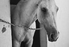 (GirlAi) Tags: horse eye beauty animal blackwhite snout mane elegance